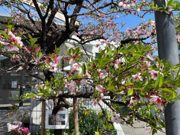 新芽が沢山でているアーモンドの木